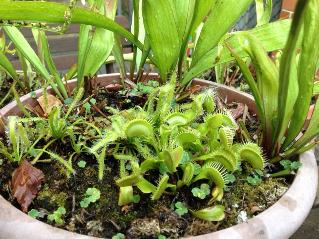 Fly Traps among the Sarracenia and Sundew - January 2013