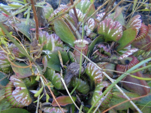 Cephalotus in the wild near Albany, WA