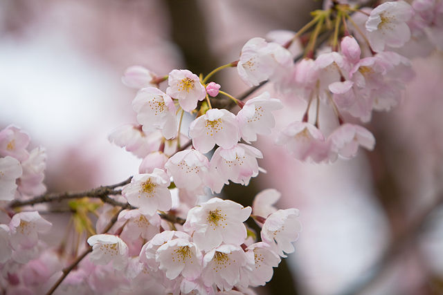 Spring bloom - image courtesy Wikimedia Commons