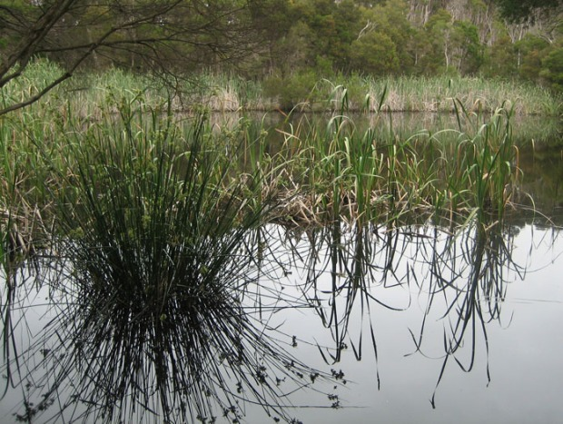 Phillip Island swamp