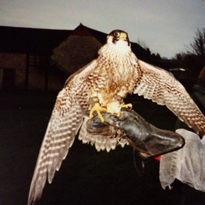 Peregrine falcon at Mary Arden's House