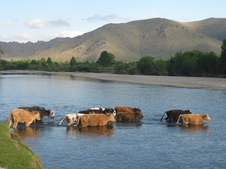 IMG_5963 cows