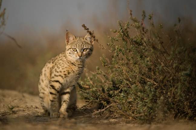 A desert cat Felis silvestris kitten looks curiously out of the safety of its den in Greater Rann of Kutch, Gujarat.